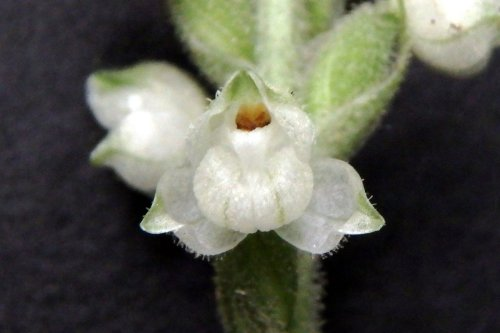 9. Downy Rattlesnake Plantain Orchid