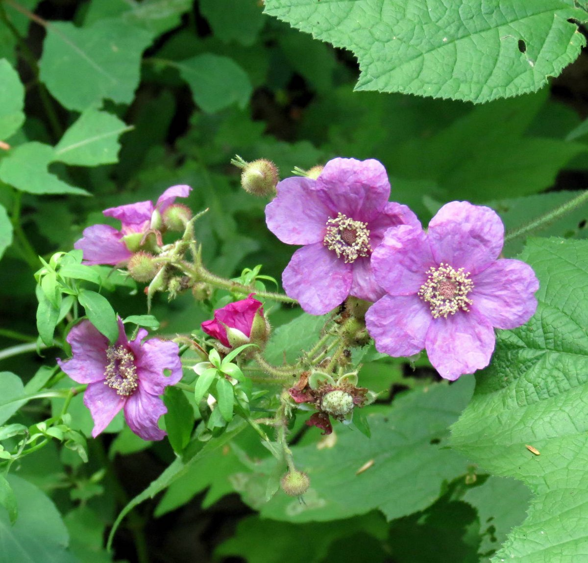 9. Purple Flowering Raspberry