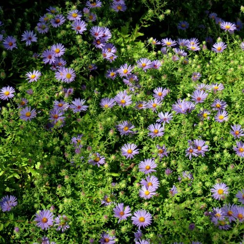1-asters-in-park