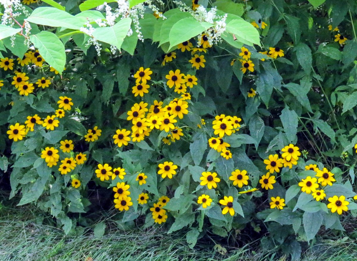 Black Eyed Susan New Hampshire Garden Solutions