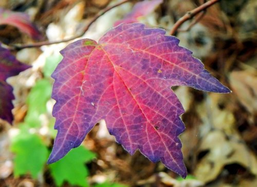 1-maple-leaf-viburnum