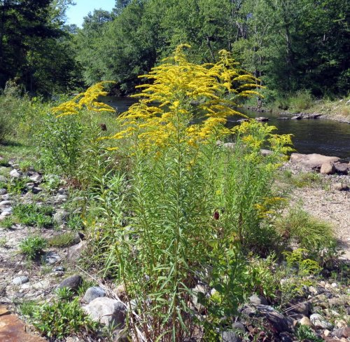 1. Tall Goldenrod aka Solidago altissima 2