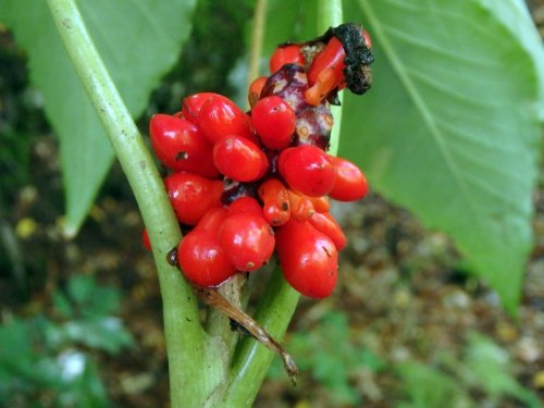 11-jack-in-the-pulpit-berries