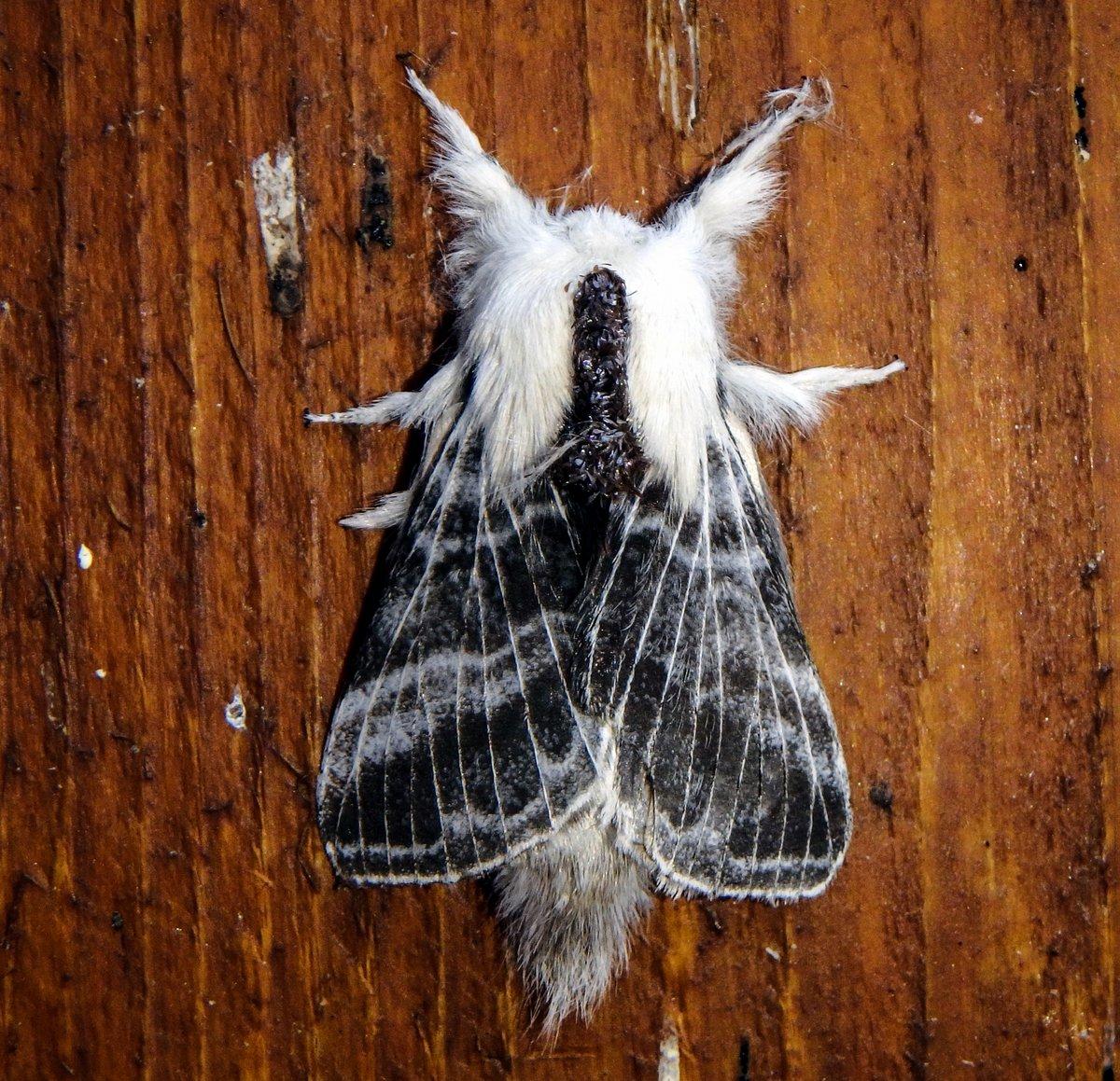 11-large-tolype-moth-aka-tolype-velleda
