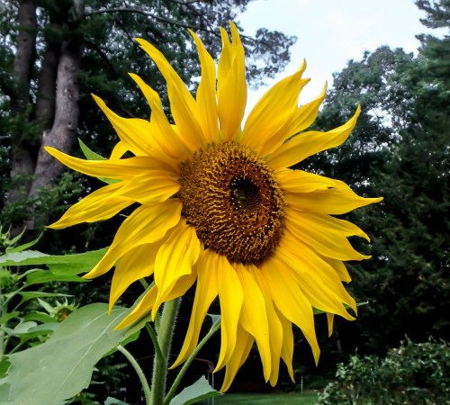 11-sunflower