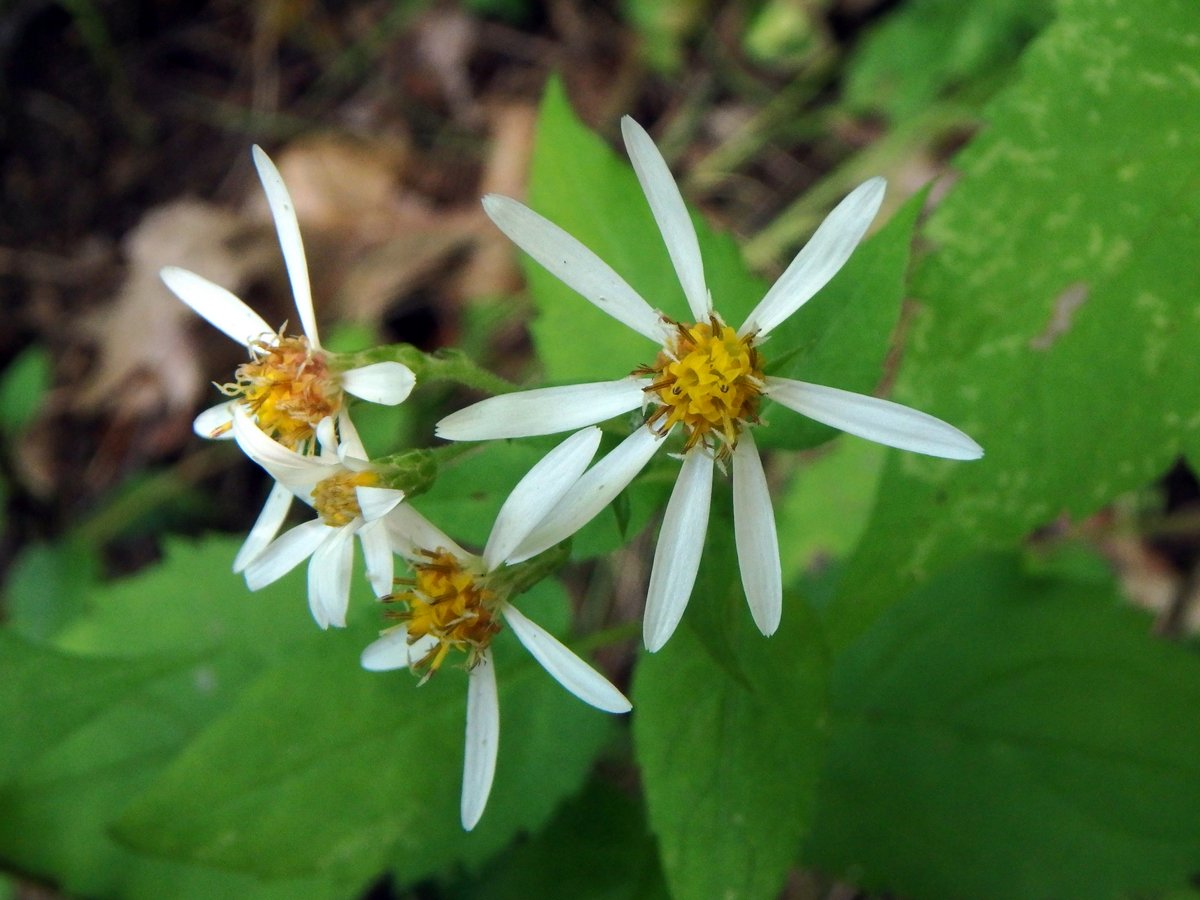 11. White Wood Aster