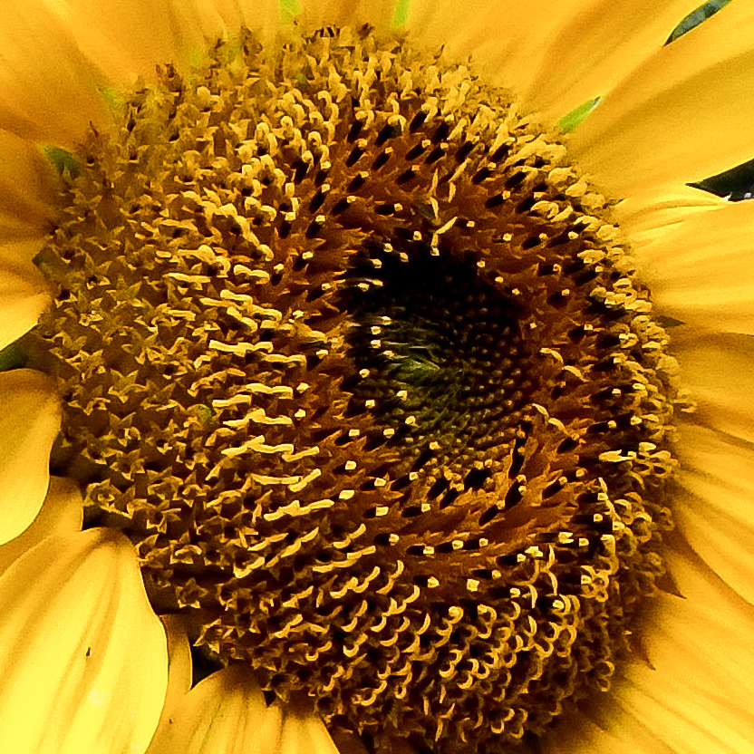 12-sunflower-close