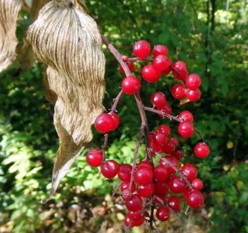 13-false-solomons-seal-berries