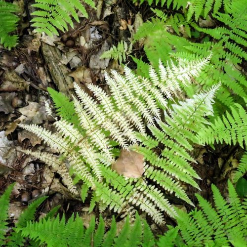 13-lady-fern