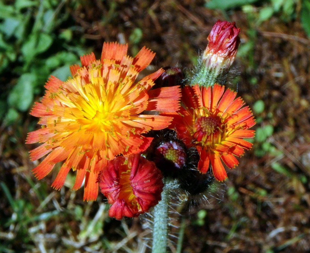 13-orange-hawkweed
