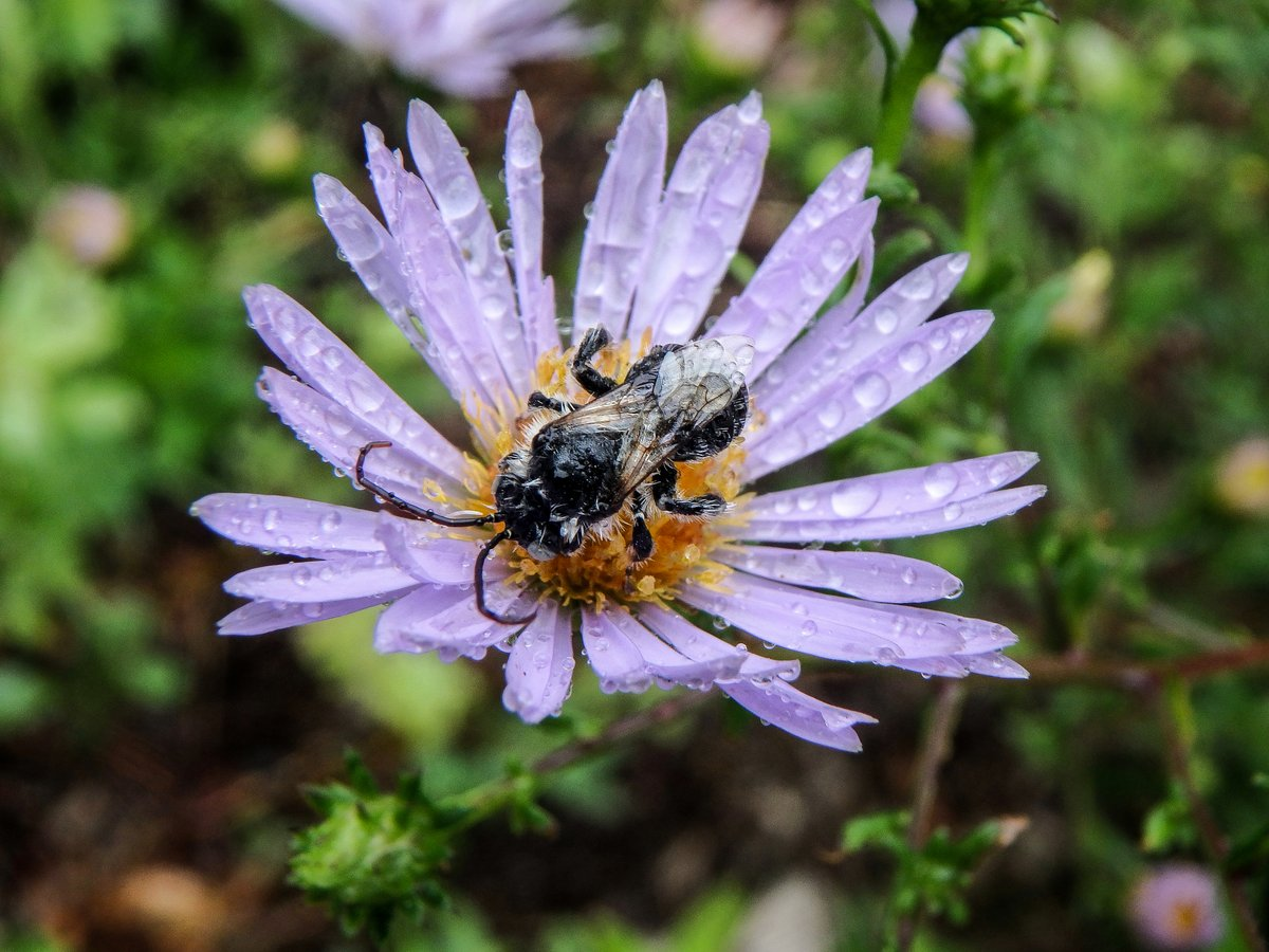 13-solitary-bee