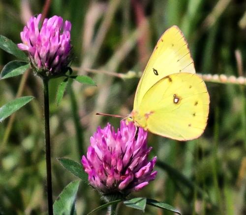 14-butterfly
