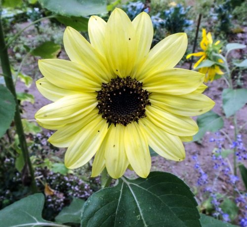 14-pale-sunflower