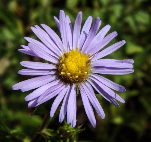 15-purple-stemmed-aster-aka-symphyotrichum-puniceum