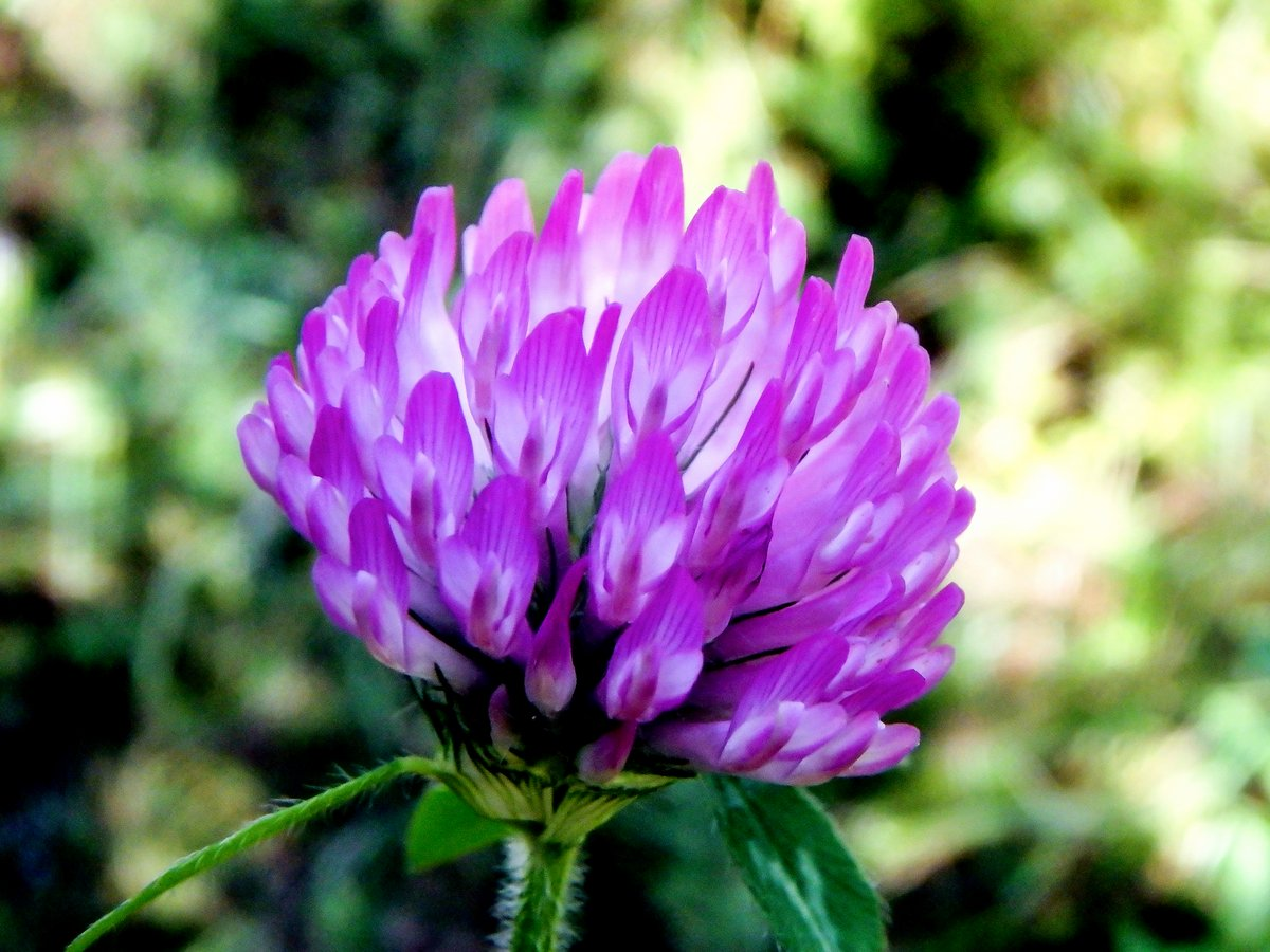 15-red-clover