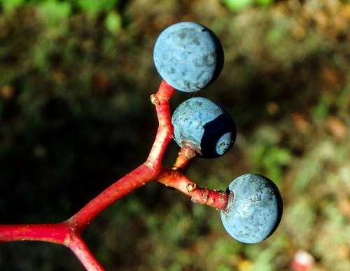 16-bvirginia-creeper-berries