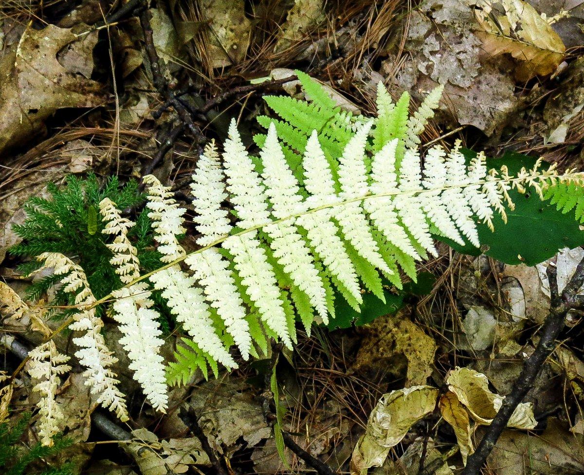 18-lady-fern
