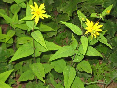 18. Woodland Sunflower