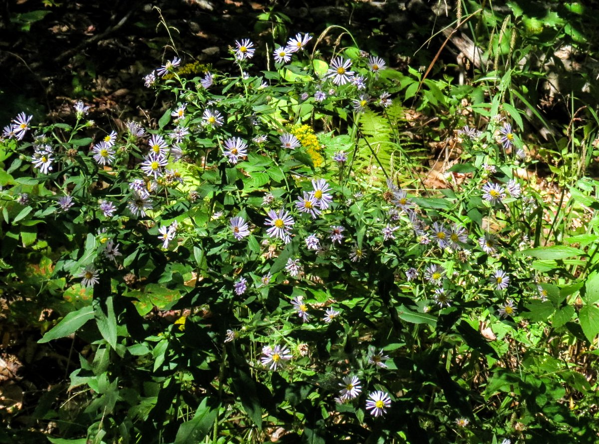 2-asters