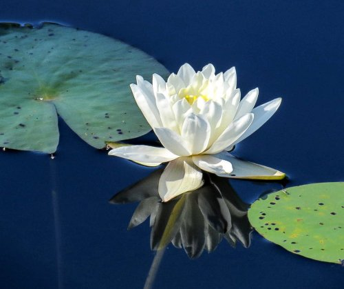 20. Water Lily