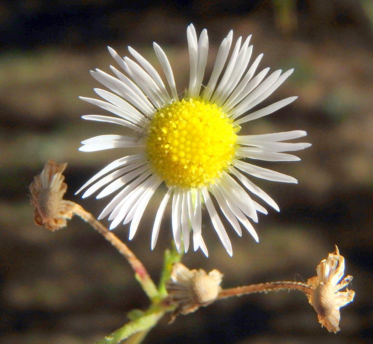 3-annual-fleabane-blossom