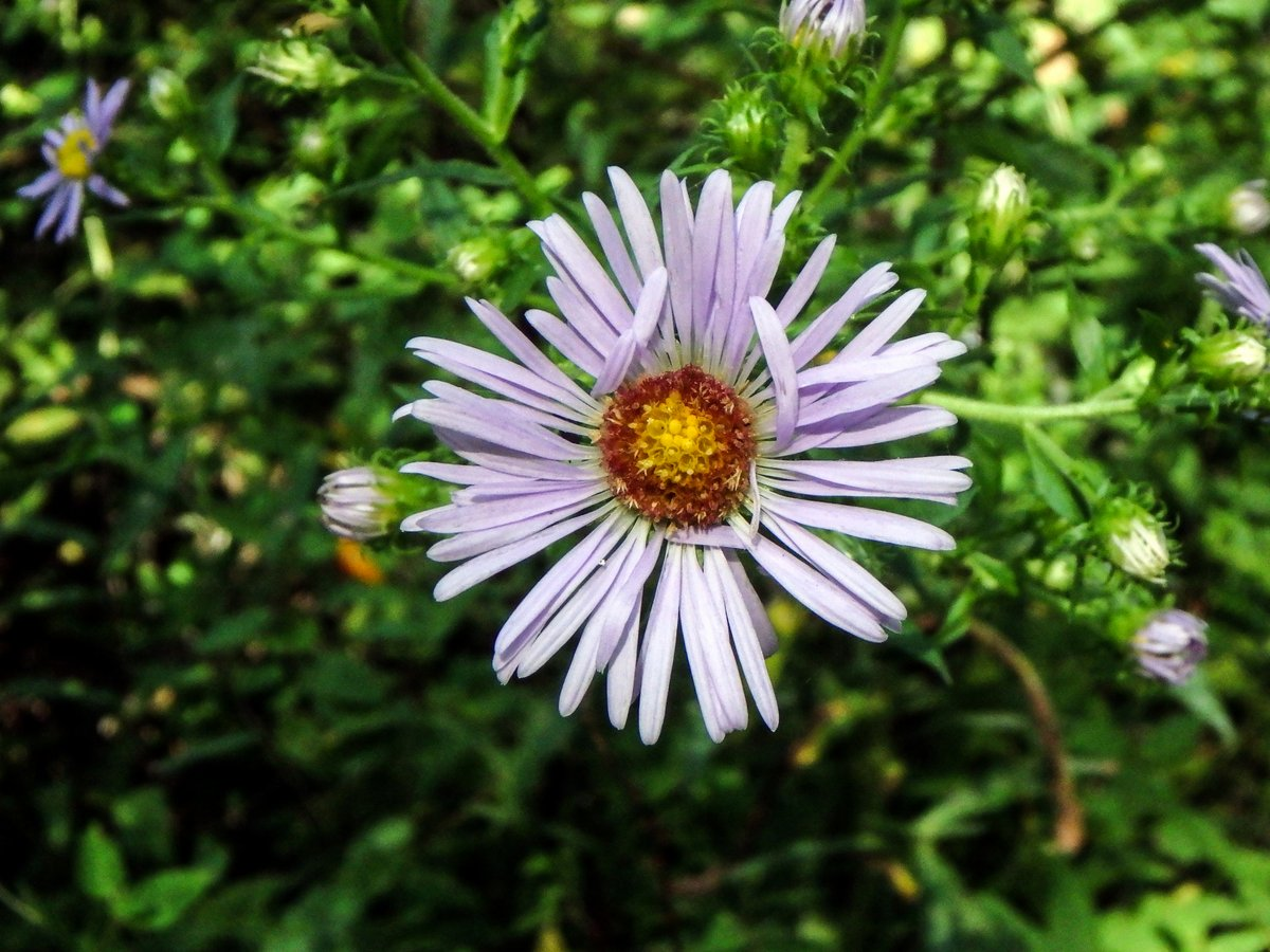 3-aster