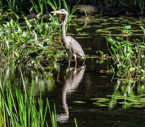 3-great-blue-heron