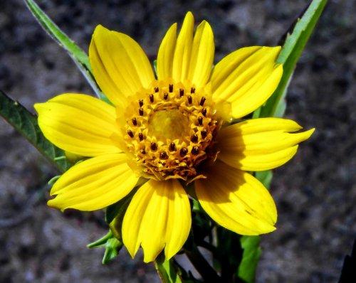 3-nodding-bur-marigold