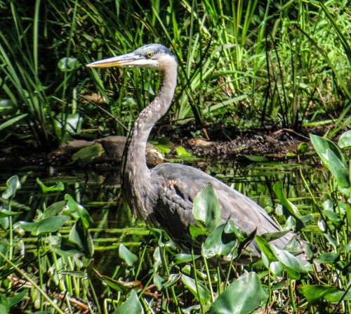 4-great-blue-heron