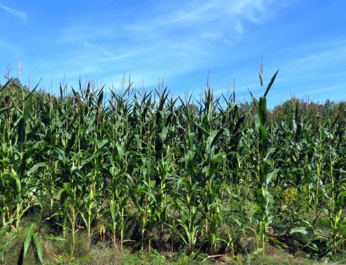 5-corn-field
