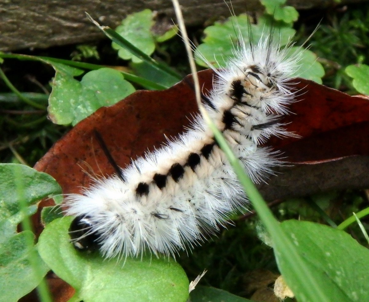 5-hickory-tussock-moth-caterpillar