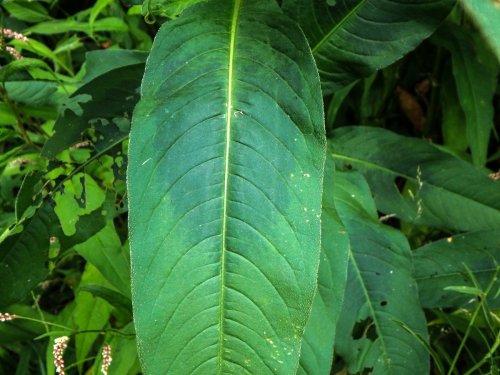 6-ladys-thumb-leaf