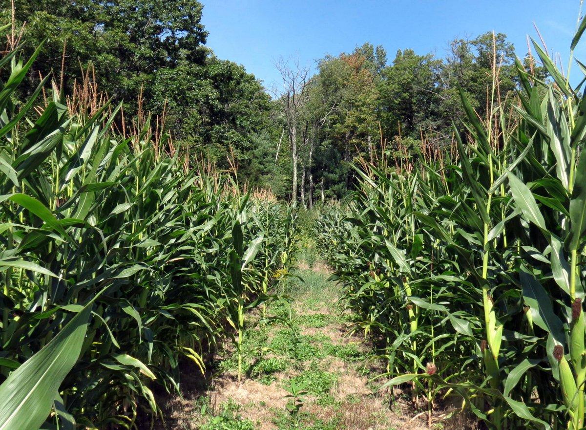 7-corn-field