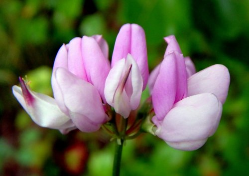 7-crown-vetch