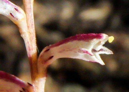 8-beech-drop-blossom