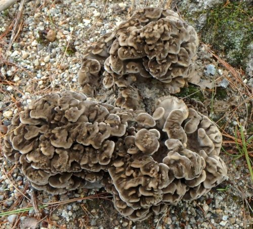 8-hen-of-the-woods-fungus-on-oak