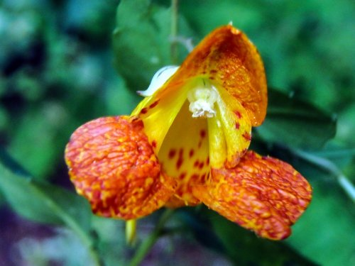 8-jewelweed