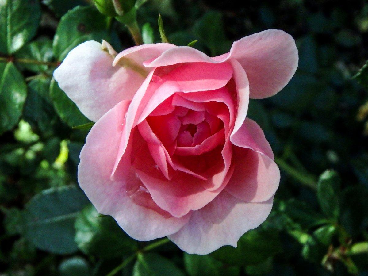 8-pink-rose