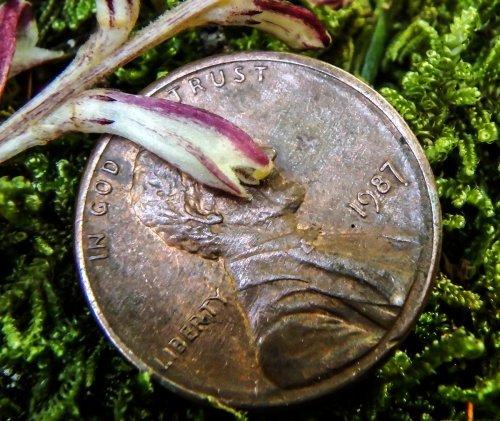 9-beech-drop-blossom