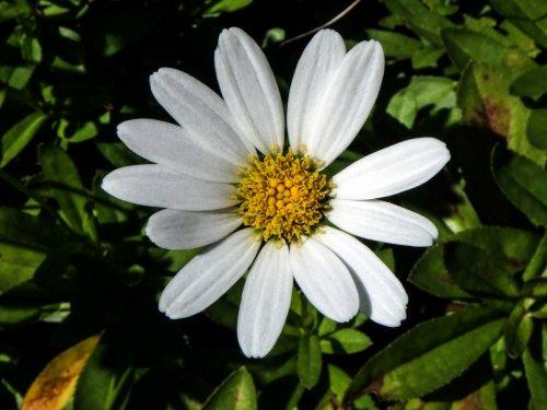 9-japanese-daisy