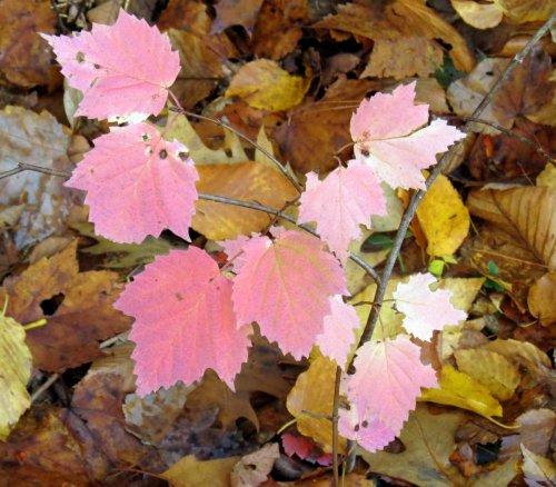 10-maple-leaf-viburnum