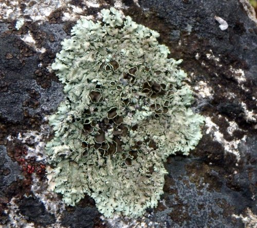 12-cumberland-rock-shield-lichen