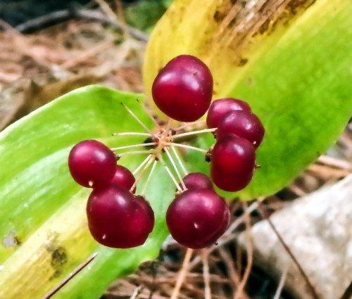 13-canada-mayflower-berries