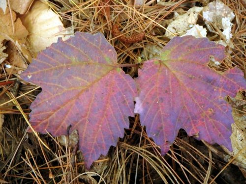 13-maple-leaf-viburnum