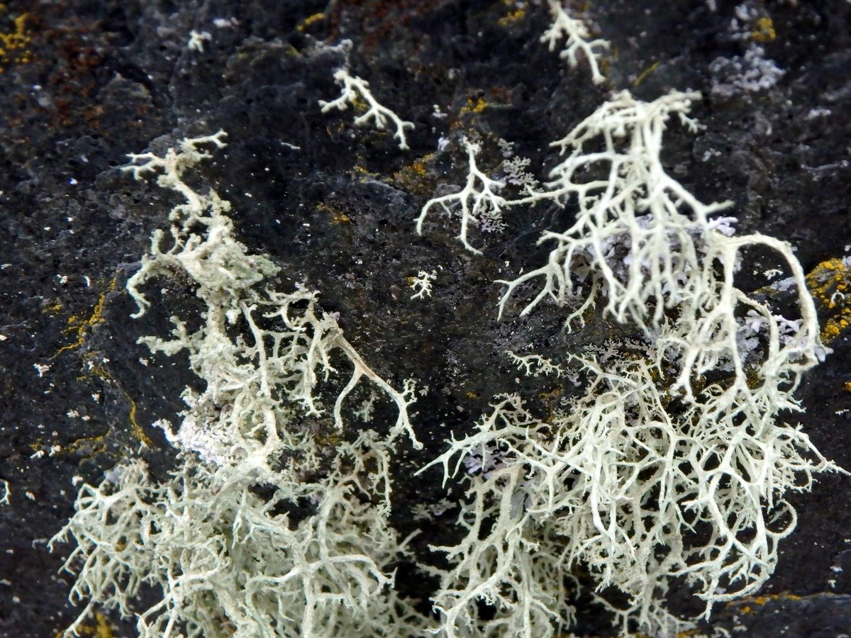 14-bristly-beard-lichens-on-stone