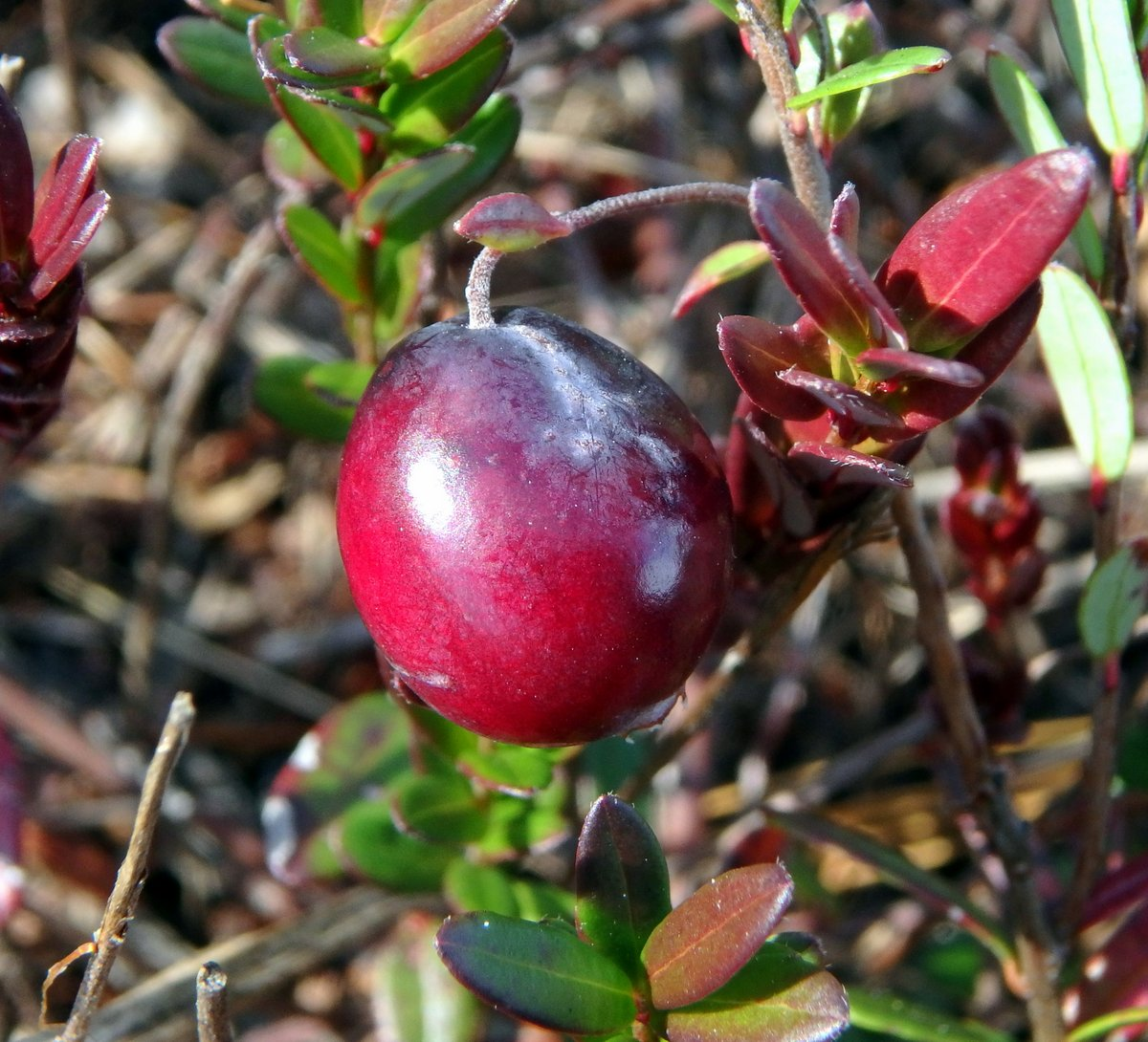 14-cranberry