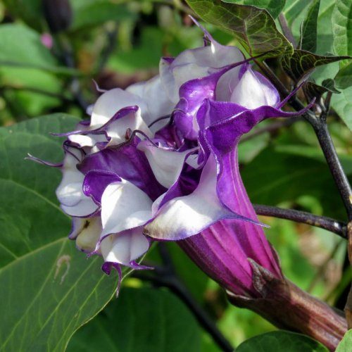 14-datura-metel-fastuosa-double-purple-blackberry