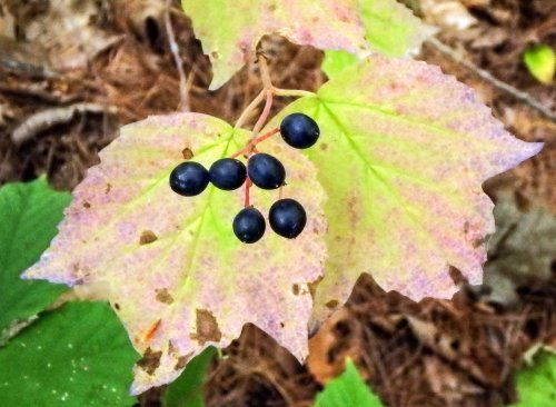 14-maple-leaf-viburnum