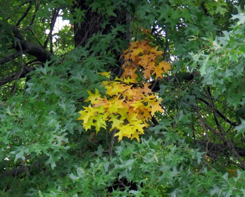 14-oak-leaves