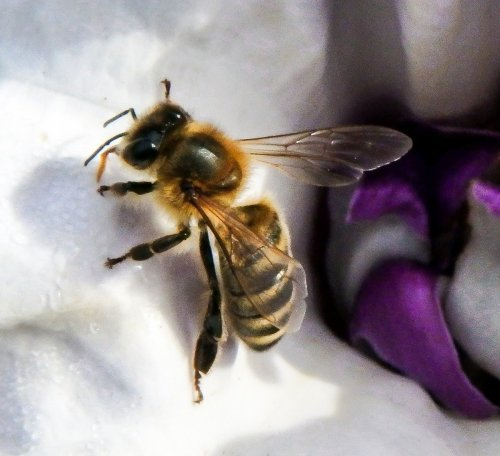 15-bee-on-datura